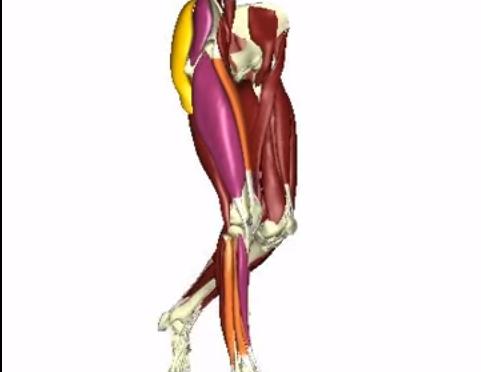 Características musculares definem o sucesso na marcha de idosos