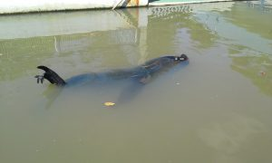 Leão marinho no Centro de Recuperação de Animais Marinhos.